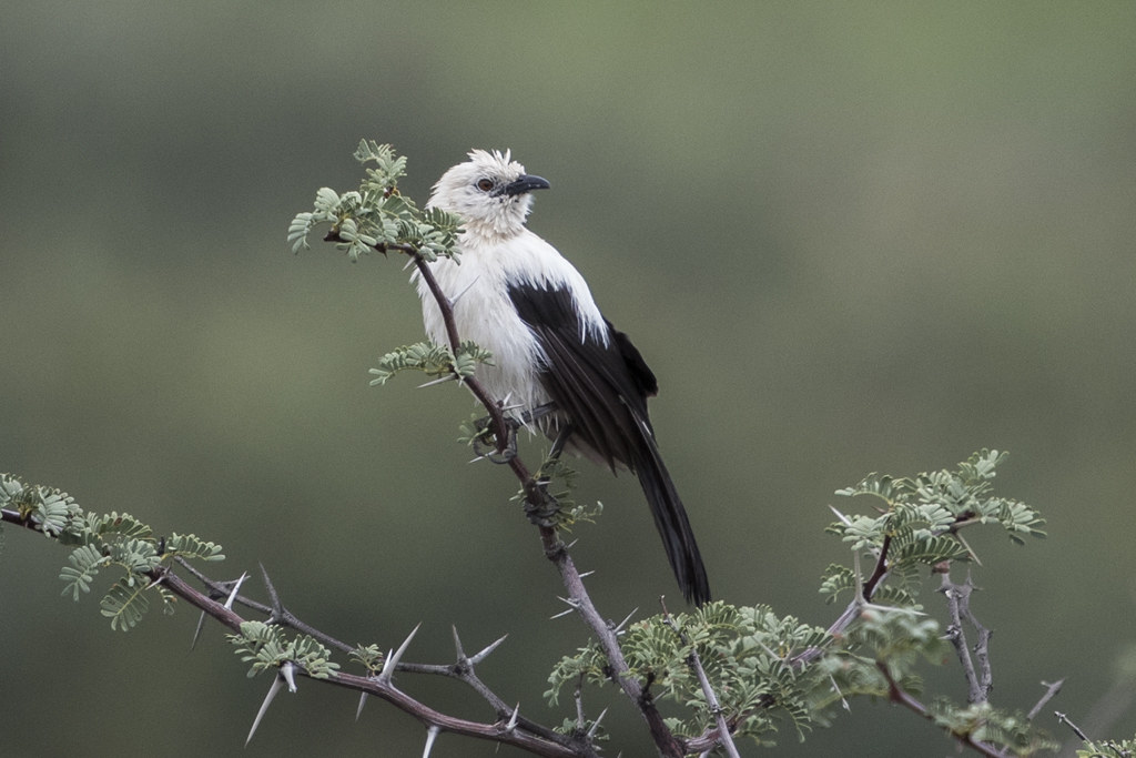 Southern Pied Babbler  Turdoides Bicolor