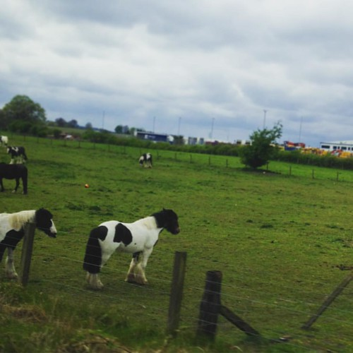 Tfw you see a whole field of cobs from the train but can't get your phone camera out quick enough to catch them all. 😥 . #cobs #cob #horses