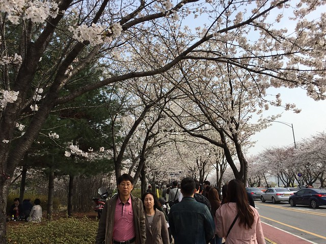 Cherry Blossom at the Yeongdeungpo Yeouido Spring Flower Festival