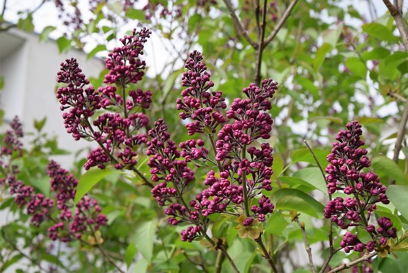 Lilac 14.04 (6)