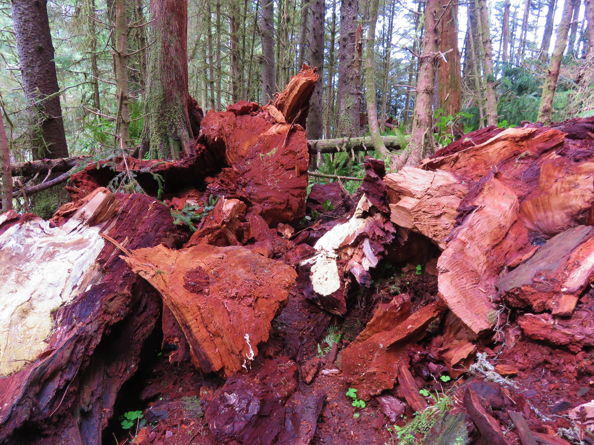 Tree that shattered over the Oregon Coast Trail