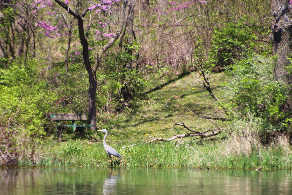 20170417 Red Haw 017 blue heron