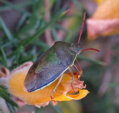 Gorse Shieldbug Piezodorus lituratus Tophill Low NR, East Yorkshire April 2017