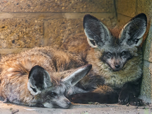 Bat Eared Foxes My First Picture Of A Beat Eared Fox