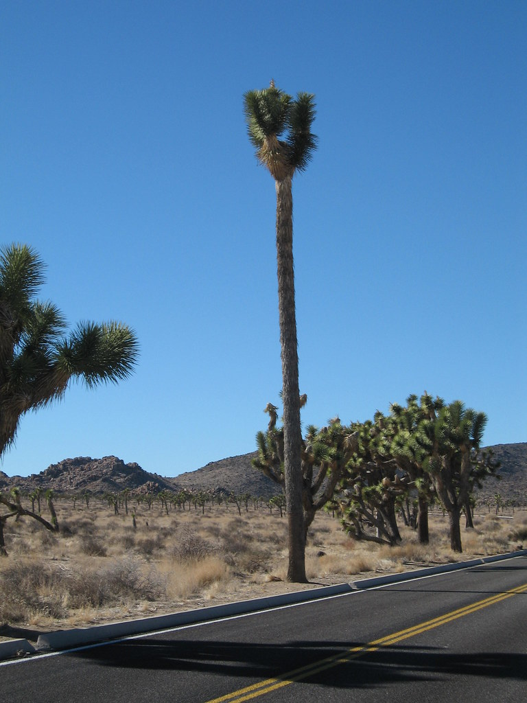 The Barber Pole Yucca brevifolia; Queen Valley NPSRobb … Joshua Tree National Park Flickr
