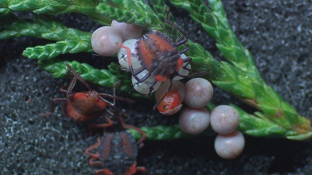 荔枝椿象的生活史包括卵、若蟲及成蟲,卵期因氣溫而不同。