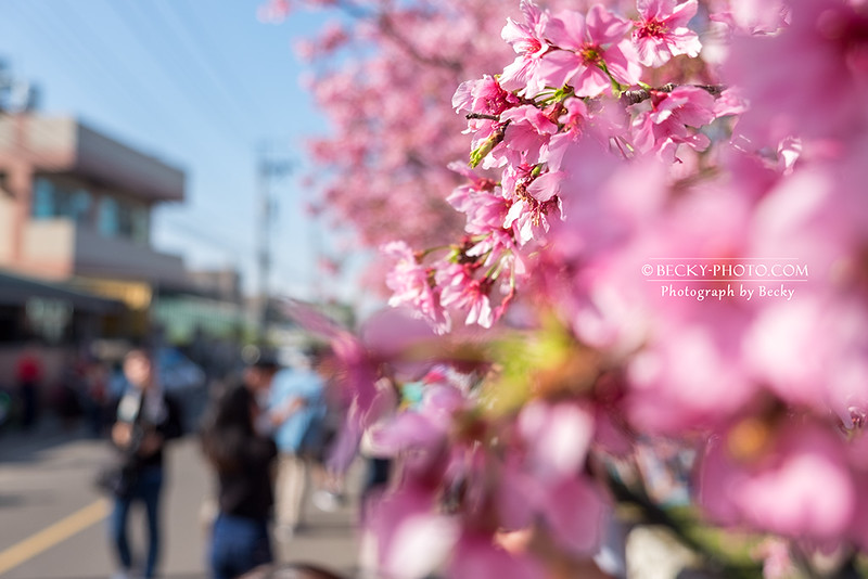 2017.Apr sakura @Taichung新社櫻花