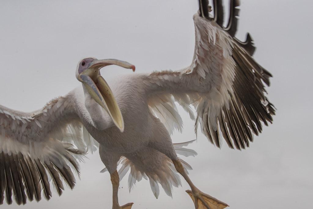 Great White Pelican Pelecanus Onocrotalus