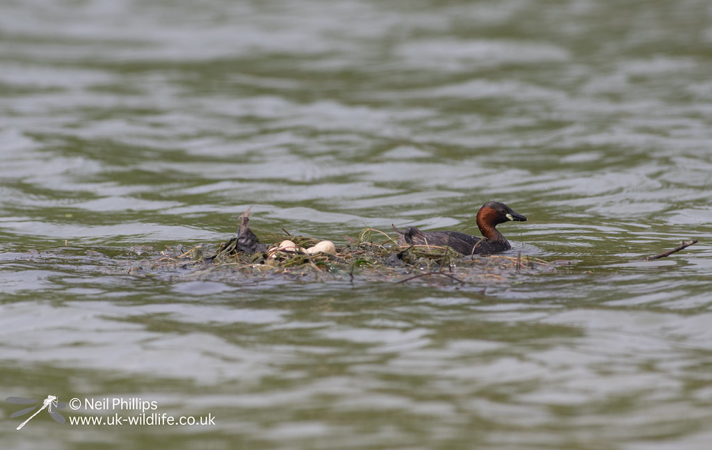 Little grebes trying to save nest