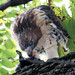 Hawk eats squirrel 6