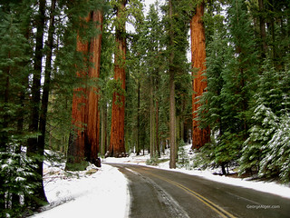 Winter Redwoods | by GeorgeAlger.com