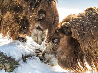 Camels licking a log | by Podsville