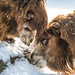 Camels licking a log