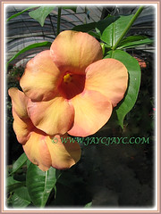 Beautiful blooms of Allamanda cathartica cv. Indonesia Sunset (Peach-coloured Allamanda), 4 Nov 2007
