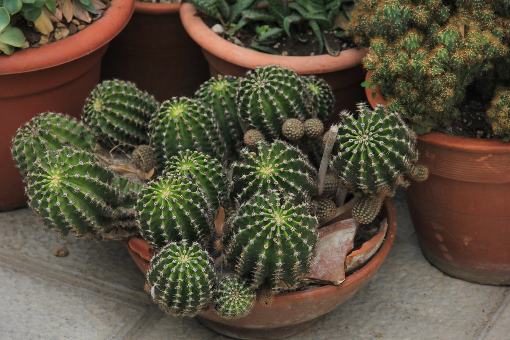 Cactus, Montalcino