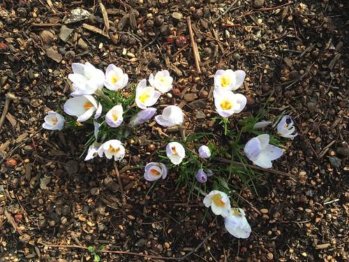 Spring Crocuses!