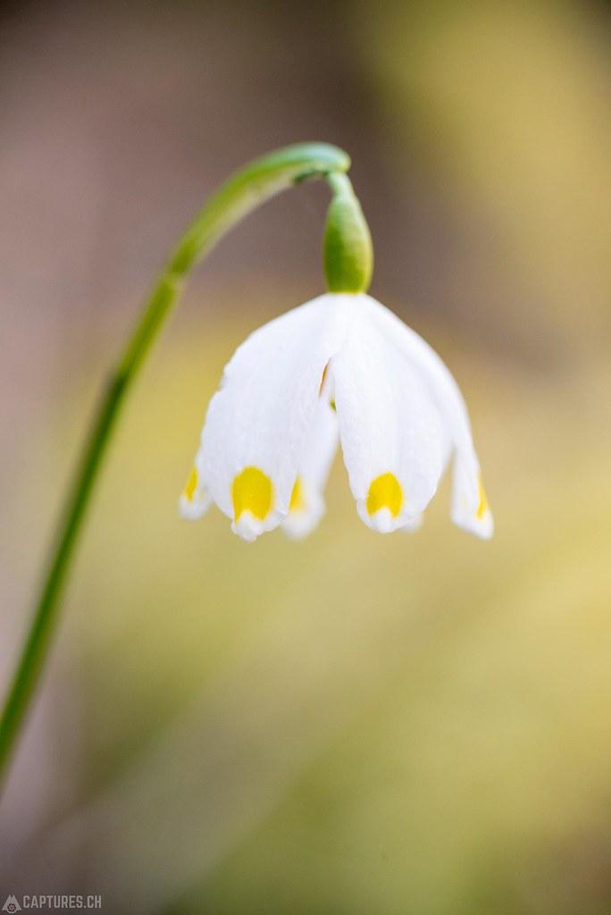 Spring snowflake - Vaud