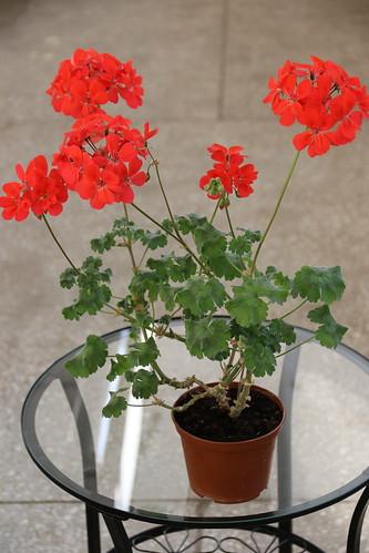 Pelargonium 'Vilda Tilda', zonartic