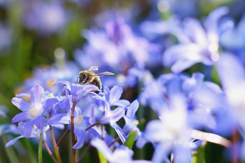 Bee on Hionodoksa
