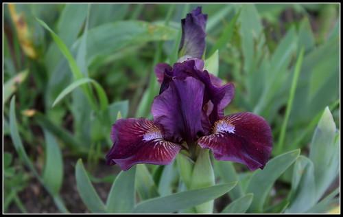 Iris 'Fillette' - Loïc Tasquier 2010 33920155431_0d10f64a62