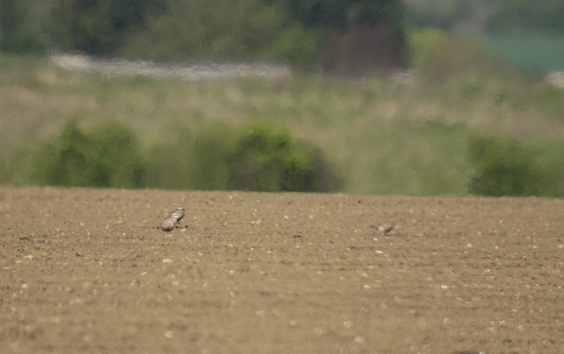 4 Dotterel, Henlow Camp, 16th April 2017