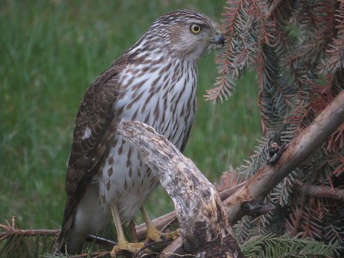 Cooper's Hawk | by tomahawkt77
