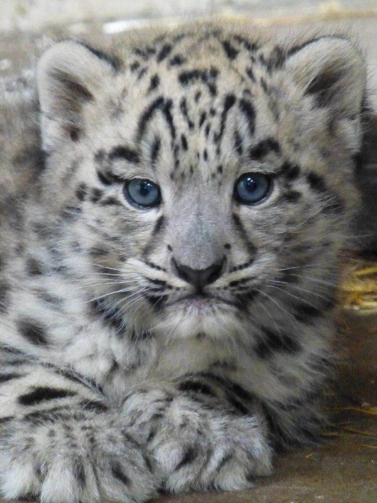 Male snow leopard cub | Twycross Zoo | Nicola Williscroft ...
