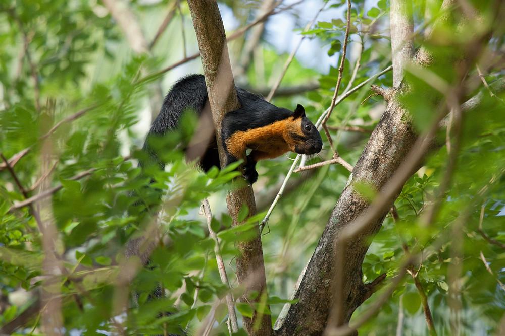 Black giant squirrel