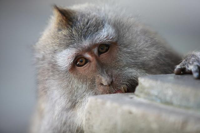 Balinese Monkeys #4