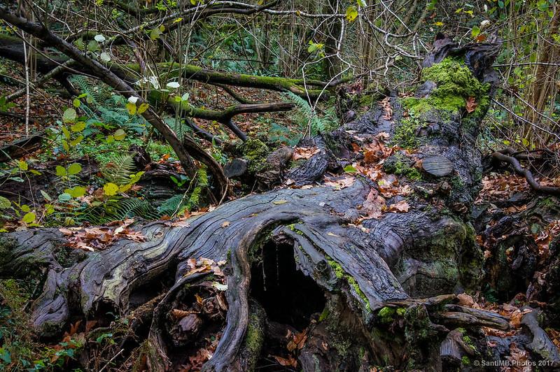 Árbol caído en el bosque de Xorroxin
