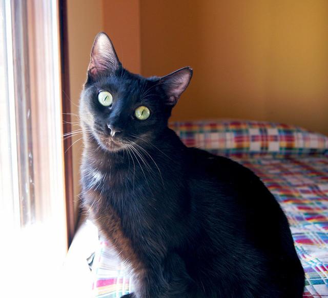 Morgana, gatita negra monísima, juguetona y tímida esterilizada, nacida en Julio´16, en adopción. Valencia. ADOPTADA. 33714611050_ee6e8af21b_z