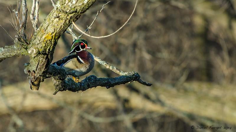 Canard branchu mâle. 34063525812_14d8abd075_c