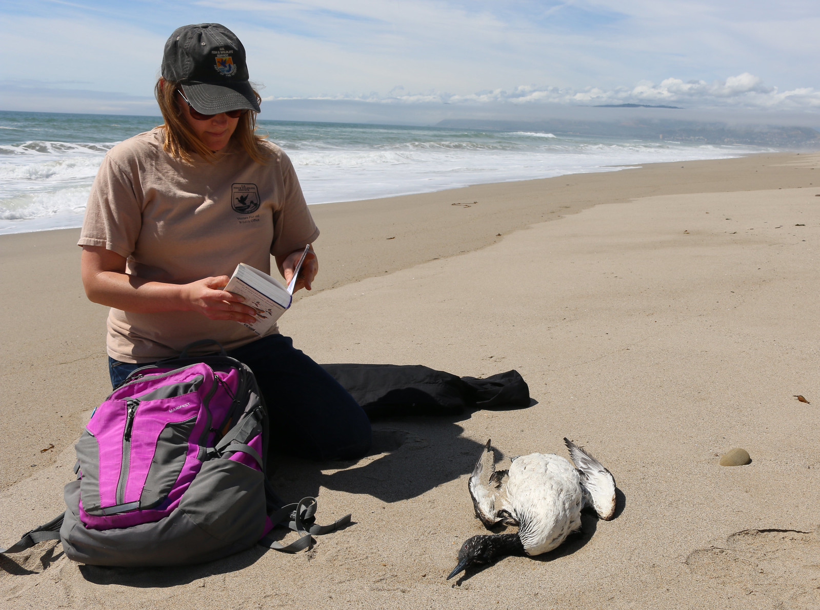 Fish and wildlife biologist Jenny Marek collects data on a Pacific loon found on Ventura County beach. Photo by Hazel Rodriguez/USFWS.
