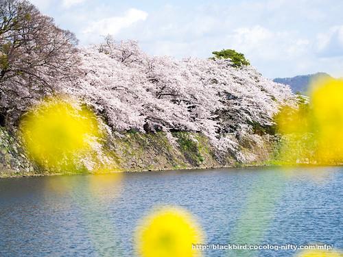Cherry blossoms #07