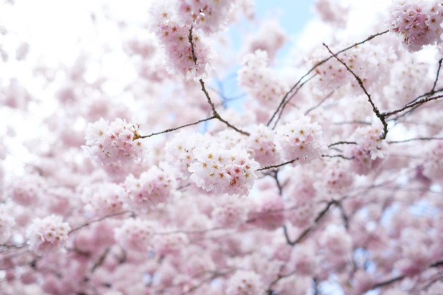 Cherry Blossoms - Seattle-3