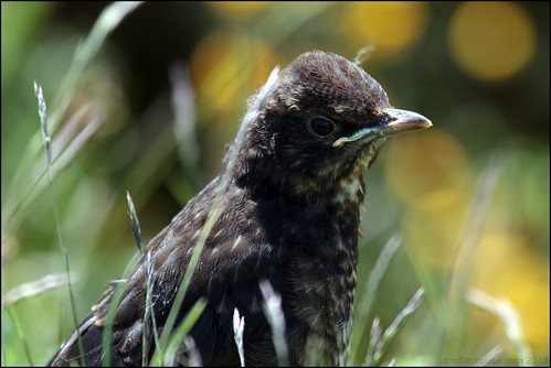 blackbird | bokeh | by John FotoHouse