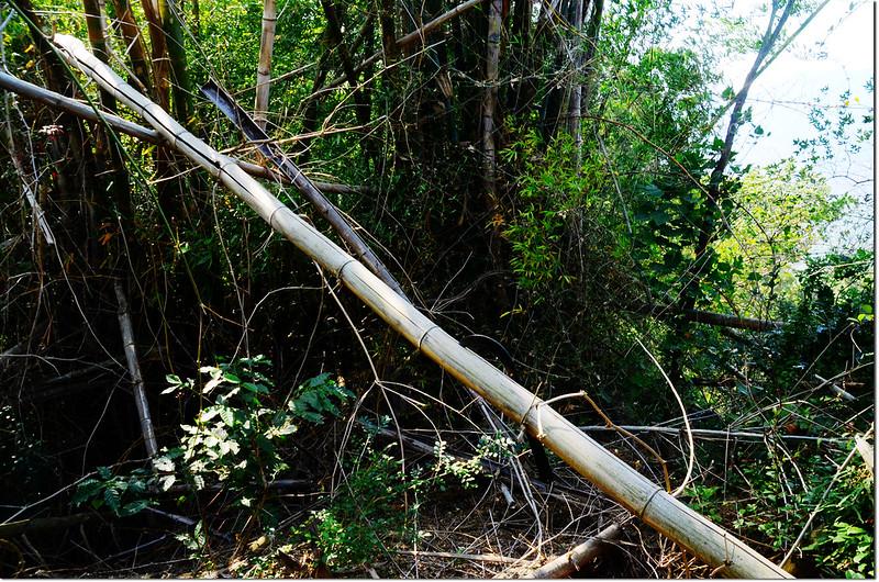 斗六山稜線刺竹叢