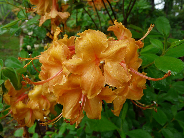 The Aubie Azalea, one of several varieties in the Auburn Azalea series.
