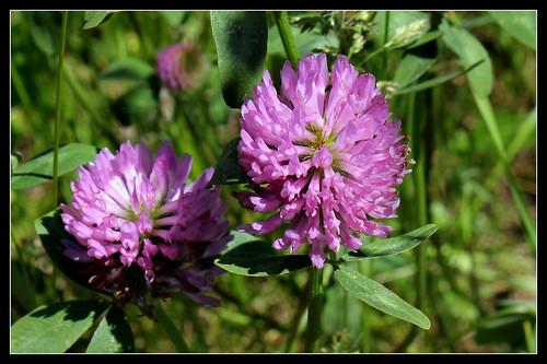 Trifolium pratense - trèfle des prés 33771096800_ecd9a7a73a