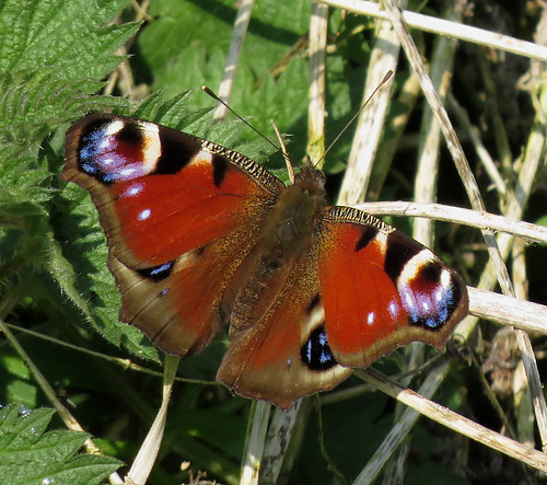 Peacock Aglais io Tophill Low NR, East Yorkshire April 2017