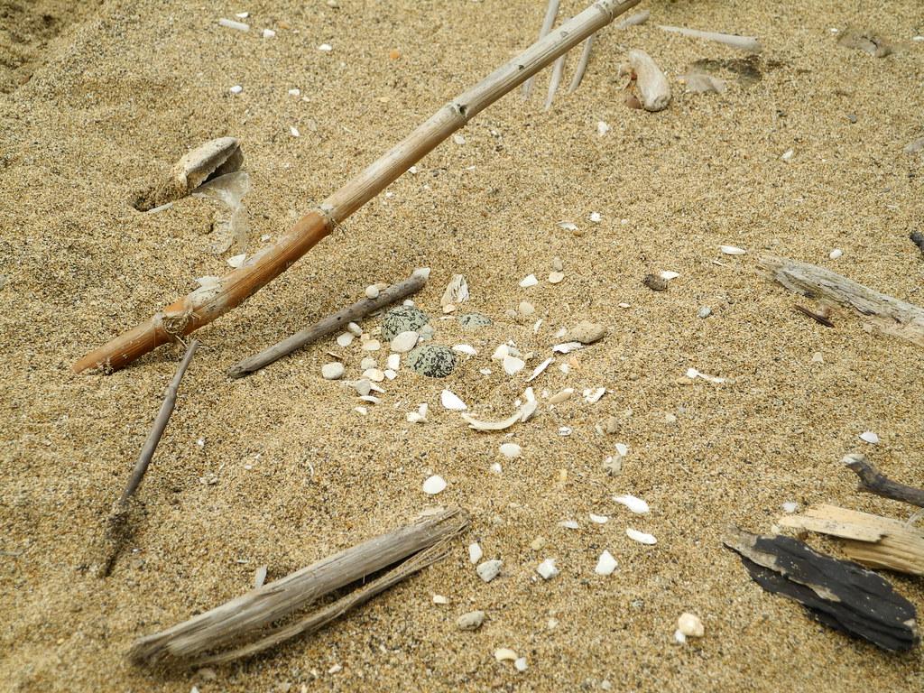 沙灘上的鳥巢,相當不易被發現。攝影:曾以寧。