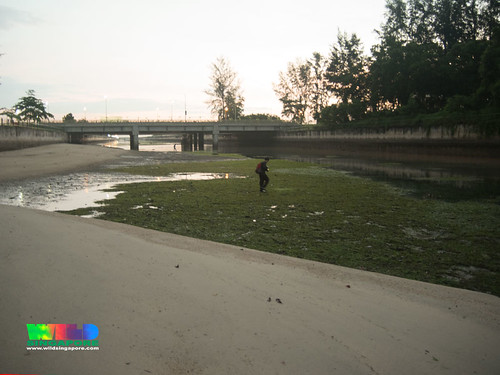 Seagrass meadows at East Coast Park canal