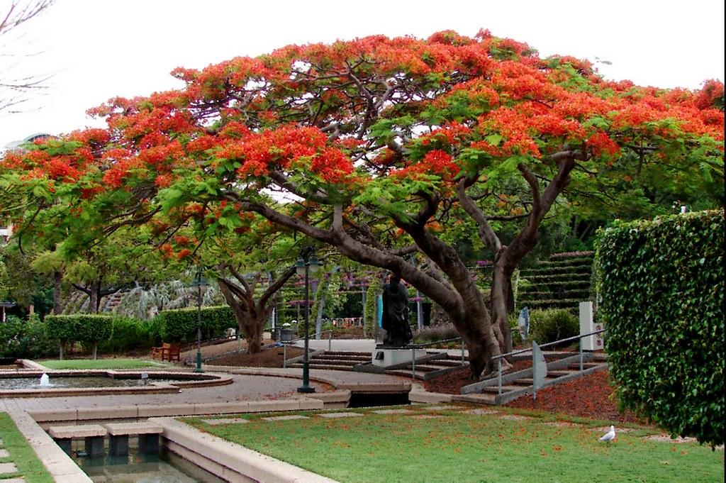 Poinciana Tree In South Bank Brisbane Tatters Flickr