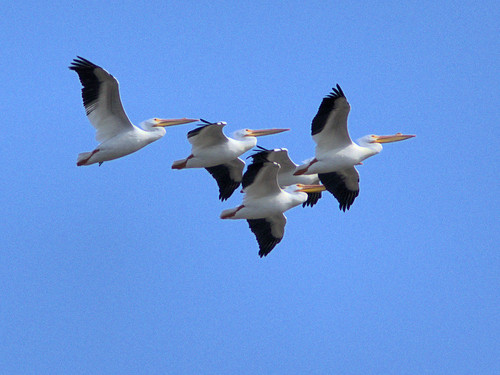American White Pelicans 20170306