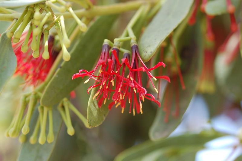 Fleshy Mistletoe