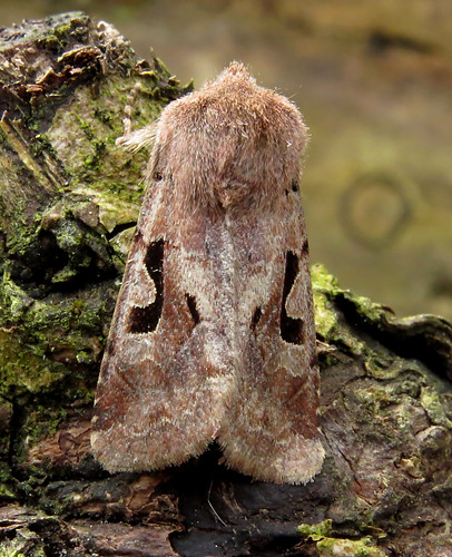 Hebrew Character Orthosia gothica Tophill Low NR, East Yorkshire March 2017