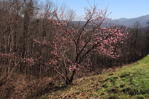 IMG_09985a_Flowering_Tree_at_Maloney_Point