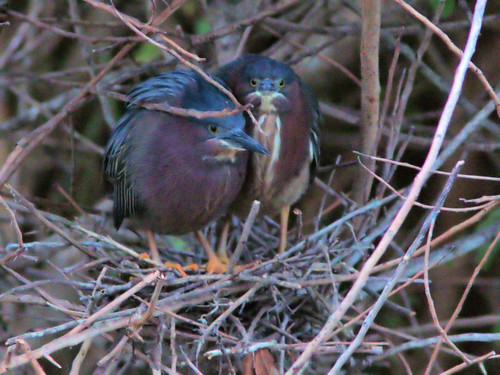 Green Herons building nest position 24 20170409