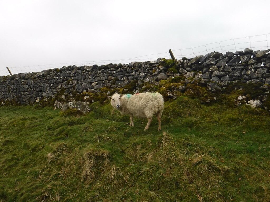 Sheep 1