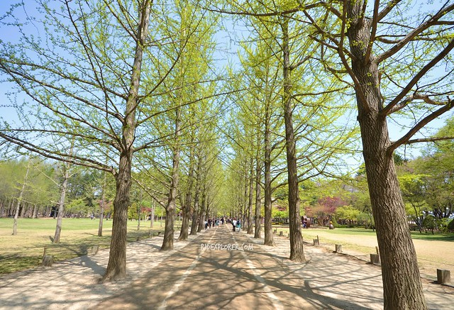 nami island Gingko Tree Lane